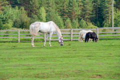 Large white horse grazing Stock Image