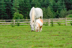 Large white horse near the mini horse Royalty Free Stock Images