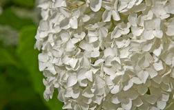 Large White Hydrangea Flower. This is a closeup of a large, white hydranea flower, off center from the center, orientated to the right. Horizontal summer nature stock image
