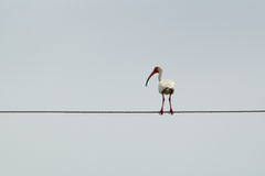 Large white ibis on cable Royalty Free Stock Photo