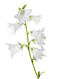 Large white isolated bellflower with eight blooms Royalty Free Stock Photo