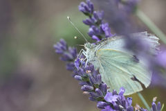 Large white on lavender. A portrait of a Cabbage Butterfly or Large White on true lavender Stock Image