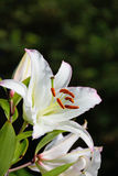Large white Lily close up in Vyritsa Sunny summer day. Large white Lily close up in Vyritsa Sunny Royalty Free Stock Photo