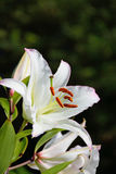 Large white Lily close up in Vyritsa Sunny summer day.  Stock Photo