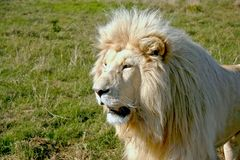 Large white lion Stock Photo