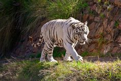 A large white male bengal tiger walking. On a path in the sun Stock Image