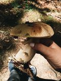 Large white mushroom Royalty Free Stock Photo