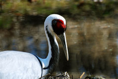 Large White Naped Crane with Amazing Markings Stock Image