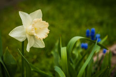 Large  White Narcissus and small blue blued flowers Stock Photos