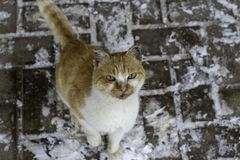 A large white-orange cat attentively watches with an unkind look against the background of the road with snow.  royalty free stock photos