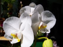 Large White Orchids in the sun. Large white orchids in a sunny window stock images