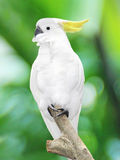 Large white parrot sitting Stock Images