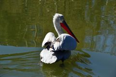 A large white pelican enters the lake Stock Photo