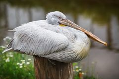 Large white pelican Royalty Free Stock Photography