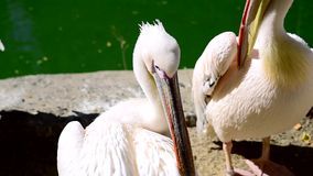 Large white pelicans clean feathers on a pond stock video footage