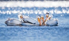 Large white pelicans gather together for fishing. Large white pelicans gather together in circle for fishing stock photos