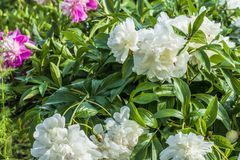 Large white Peonies grow in the garden among green leaves. White Peonies in spring garden close-up stock photo