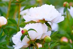 Large white peonies Royalty Free Stock Image