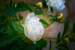 Large, white peonies, many petals and juicy flower. in bush. Large, white peonies, many petals and juicy flower. in the bush Stock Photos