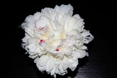 Large white peony with pink tint stock photography