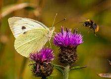 Large White / Pieris Brassicae Stock Photos