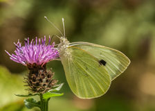Large White / pieris brassicae Royalty Free Stock Photography