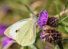 Large White / pieris brassicae stock photography
