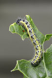 Large White butterfly larva eating horseradish Stock Photos