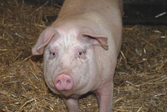 Large White pig. A Large White (rare breed) pig standing in its pen, looking at camera Stock Photography