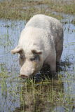 Large White Pig Stock Images