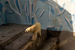A large white polar bear walks. In the Novosibirsk zoo Stock Photo