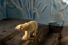 A large white polar bear walks. In the Novosibirsk zoo Royalty Free Stock Photography
