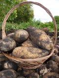 Large white potatoes Royalty Free Stock Image