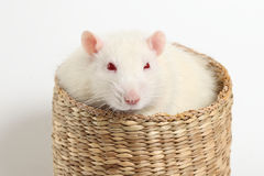 Large white rat lies in a wicker basket Royalty Free Stock Image