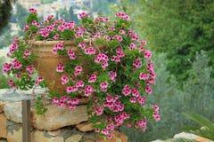 Large Mediterranean Geranium potted. Large white and red Mediterranean Geranium in pots, toned stock photo