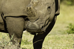 Large white Rhino Stock Photo