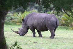 Large White Rhino Stock Photography