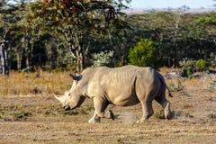 Large white rhino. Nakuru lake park, Africa Stock Photo