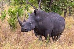Large white rhino near. Meru, Kenya. Africa royalty free stock photography