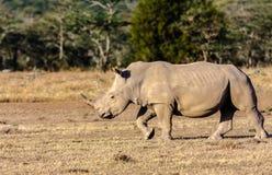 Large white rhino in savannah. Nakuru. Royalty Free Stock Image