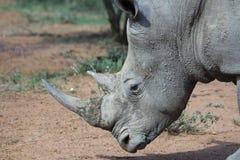 Large White Rhinoceros Stock Photography