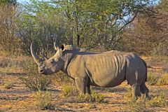 Large White Rhinoceros in Botswana. Extremely Large White Rhinoceros with Large Horn In Botswana Stock Photo