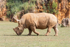 Large white rhinoceros (Ceratotherium simum) Stock Photos