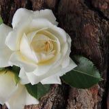 Large white   rose on a background of tree bark Stock Photo