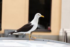 Large White Seagull on Car Roof Stock Image