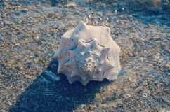 Large white seashell on the seashore. The large white seashell on the seashore stock images