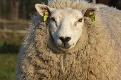 Large white sheep with black nose and a lot of soft curly hair forming her coat. stock image