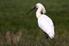 Large white spoonbill bird standing in grassland Stock Image