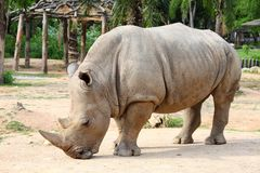 Large white (square-lipped) rhinoceros (Ceratothe Royalty Free Stock Image