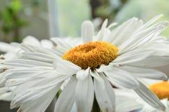 Large white summer gerberas close up under sunshine. royalty free stock image